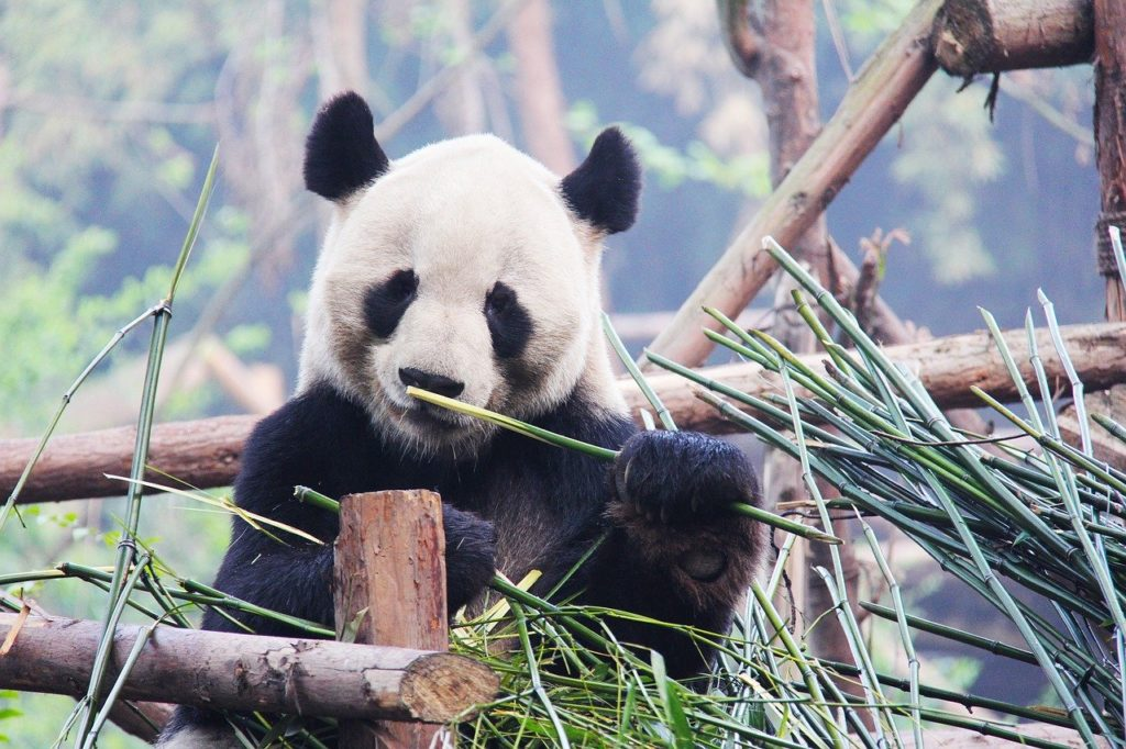 Visiting giant pandas in Chengdu is another of the top China bucket list picks.