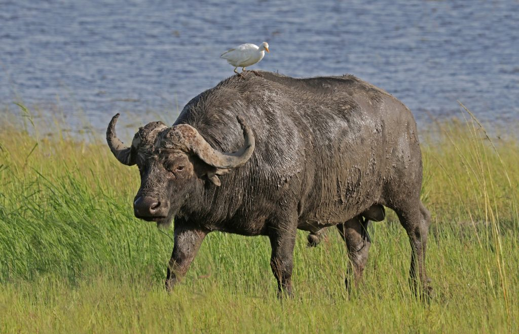 The buffalo is a mighty beast.