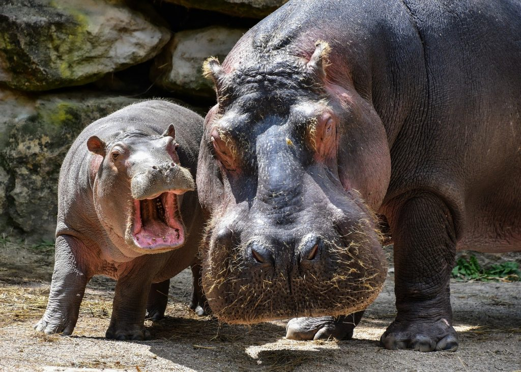 Hippos are one of the most dangerous African animals.