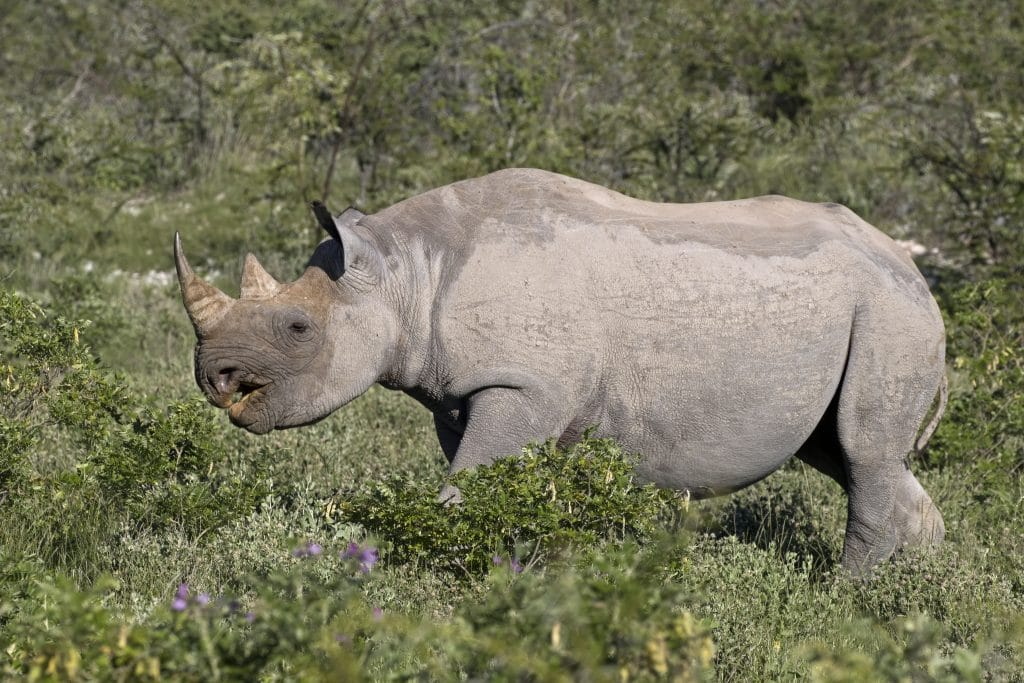 Rhinos are one of the most dangerous African animals.