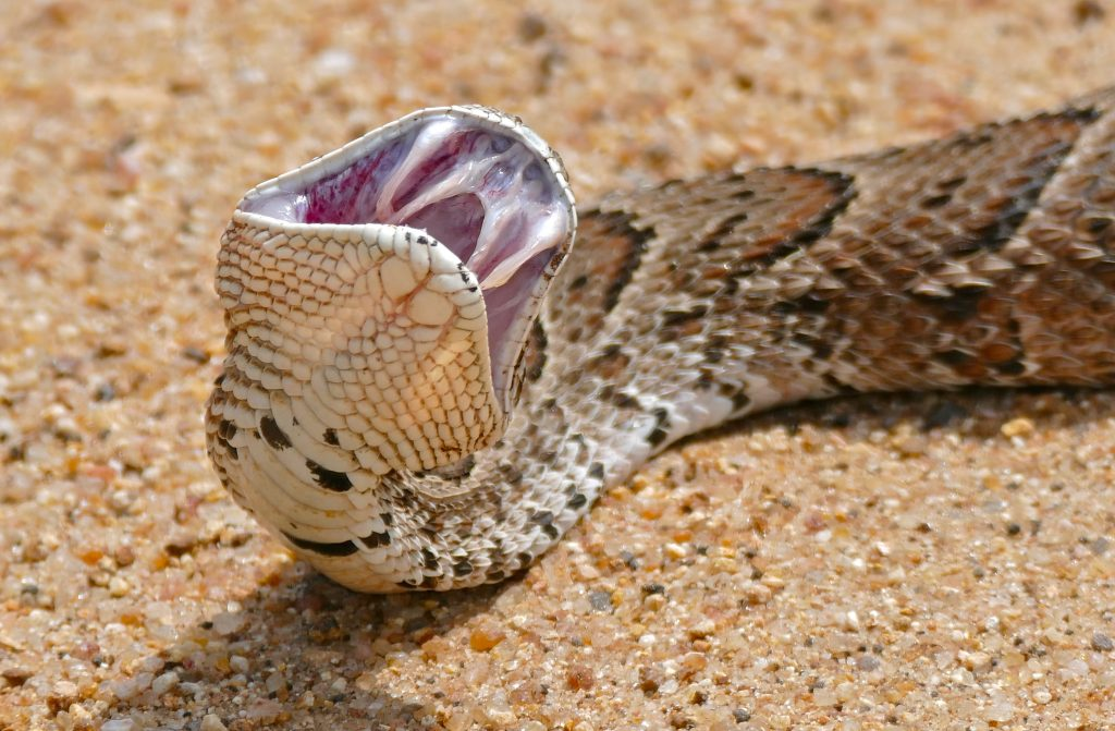 Don't mess with the puff adder.