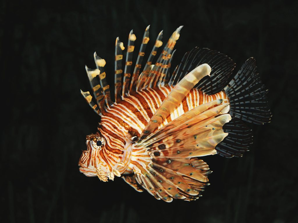 The Red Lionfish is one of the most dangerous fish in the world.