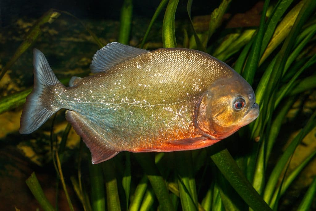 The piranha is one of the most dangerous fish in the world.
