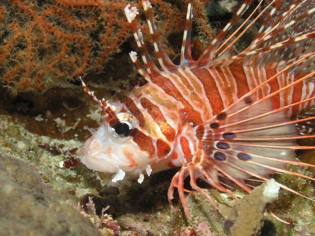 The spotfin lionfish is one of the most dangerous fish in the world.