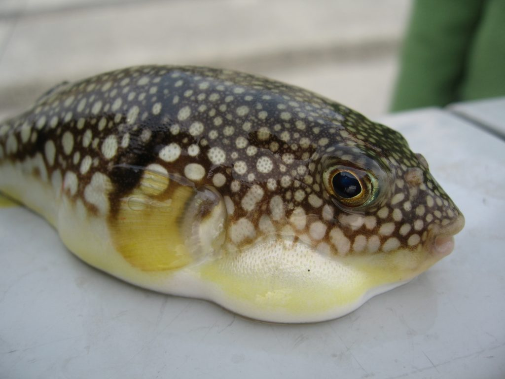 Fugu are more poisonous than cyanide.