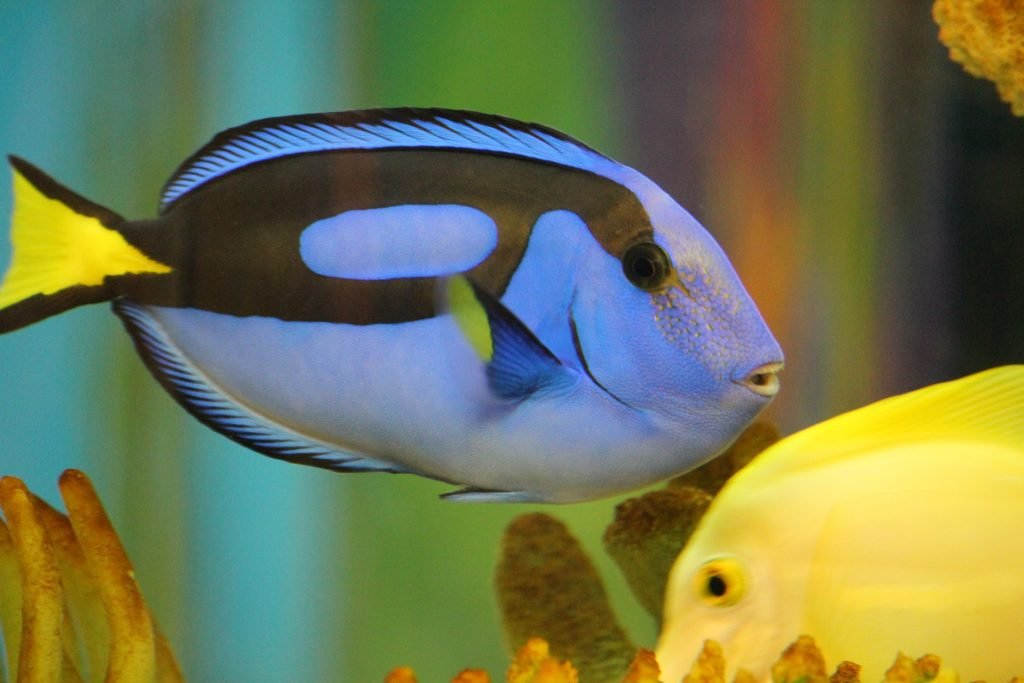Blue Tang are one of the cutest fish breeds.