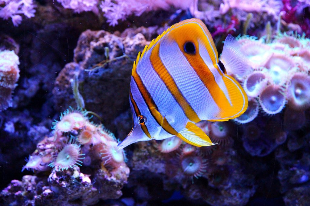 Butterflyfish is next up on our list of the cutest fish breeds.