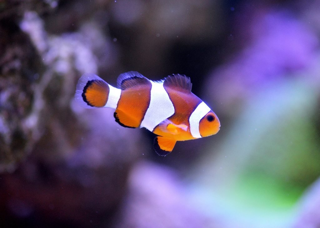 The clown fish is one of the cutest fish breeds in the world.