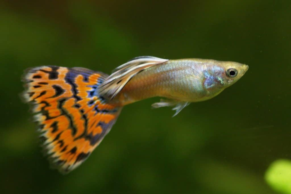 The fancy guppy would make the perfect addition to your home aquarium.