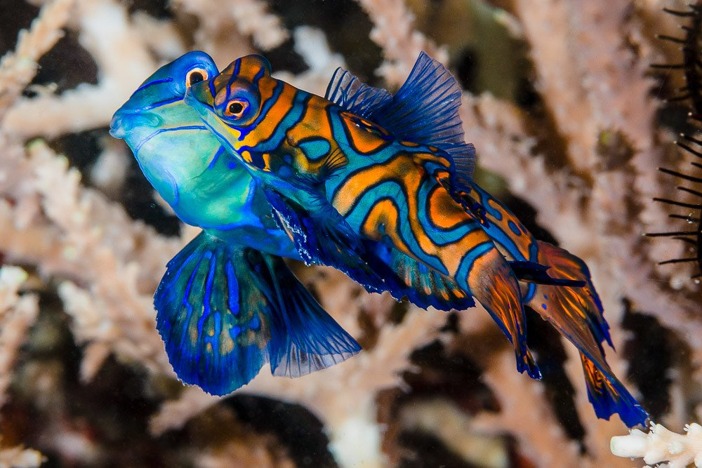 Mandarinfish boast magnificent markings.