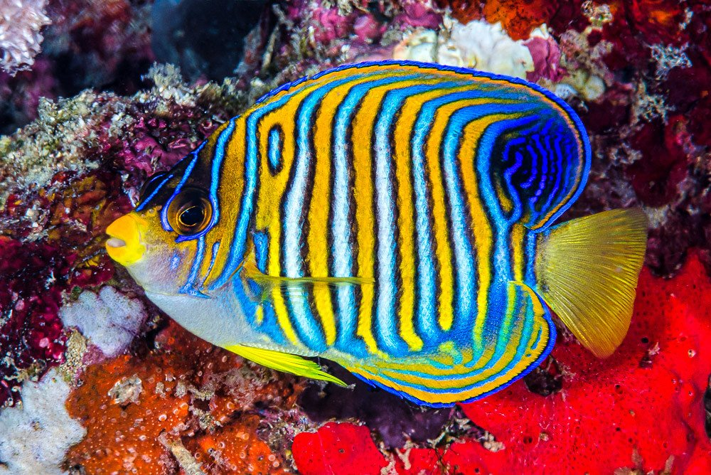 Regal angelfish are one of the cutest fish breeds.
